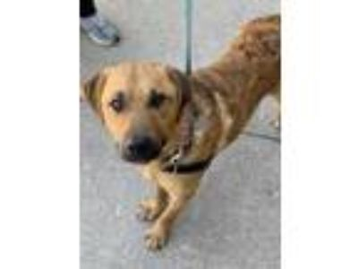 Adopt Ty a Tan/Yellow/Fawn Retriever (Unknown Type) / Mixed dog in Chicago