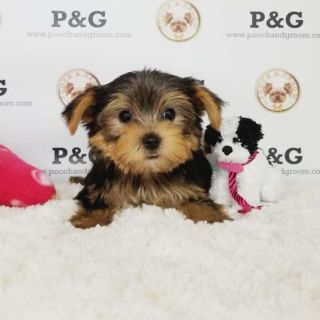 Yorkshire Terrier PUPPY FOR SALE ADN-105308 - YORKSHIRE TERRIER RICHARD MALE
