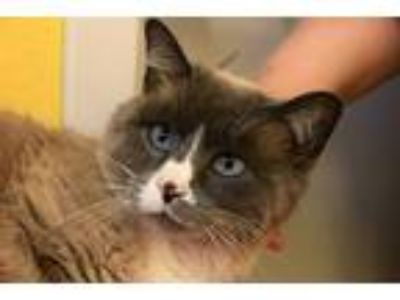 Adopt Mia a Cream or Ivory (Mostly) Siamese (short coat) cat in Sheridan