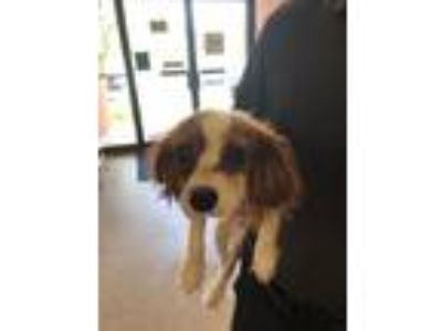 Adopt Waco a Red/Golden/Orange/Chestnut - with White King Charles Spaniel /