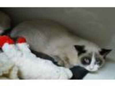 Adopt Tasha a Cream or Ivory (Mostly) Siamese (short coat) cat in Green Valley