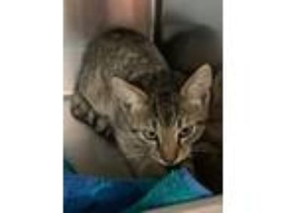 Adopt Bender a Domestic Short Hair