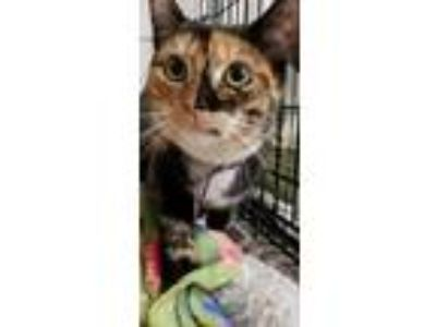 Adopt Chimera18 a Domestic Shorthair / Mixed (short coat) cat in Youngsville