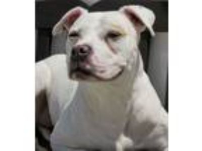 Adopt 19-214 Harley a Pit Bull Terrier
