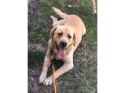 Adopt Bentley a Labrador Retriever