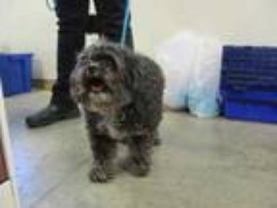 Adopt Tom Thumb a Gray/Blue/Silver/Salt & Pepper Shih Tzu / Mixed dog in