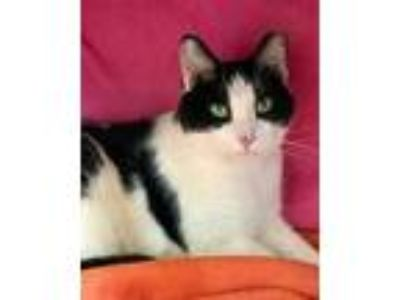 Adopt Riley a All Black Domestic Shorthair / Domestic Shorthair / Mixed cat in