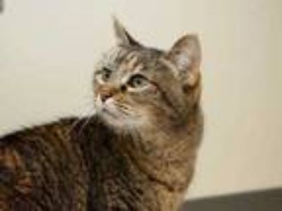 Adopt Callie a Gray or Blue Domestic Shorthair / Domestic Shorthair / Mixed cat