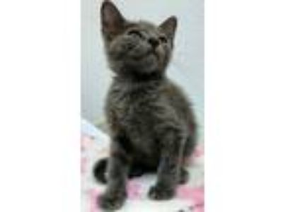 Adopt Rooster a Domestic Short Hair