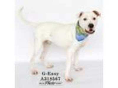 Adopt G-EAZY a Staffordshire Bull Terrier, Mixed Breed