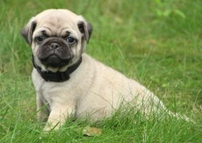 Happy male and female Pug puppies ready to go