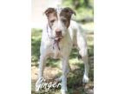 Adopt Ginger a Tricolor (Tan/Brown & Black & White) Mixed Breed (Medium) / Mixed