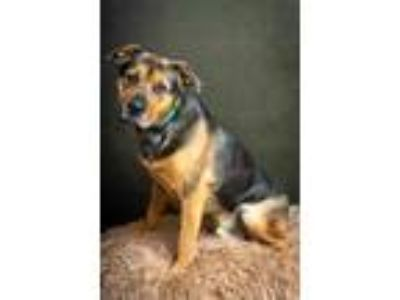 Adopt JACKSON a Black Shepherd (Unknown Type) / Retriever (Unknown Type) / Mixed