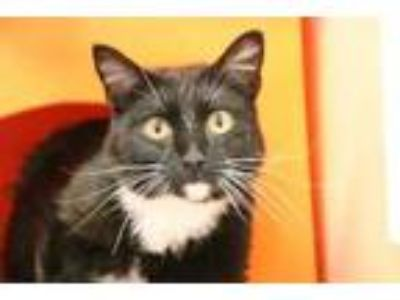 Adopt Spook a All Black Domestic Shorthair / Domestic Shorthair / Mixed cat in