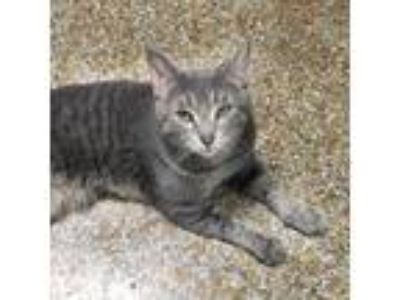 Adopt Schrodinger a Domestic Short Hair