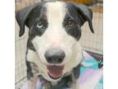 Adopt Oakley a Black Border Collie dog in Baytown, TX (25305796)