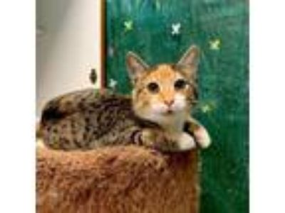 Adopt Sunkist a Calico / Mixed cat in Ellijay, GA (25338902)