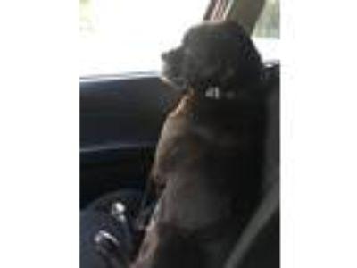 Adopt Duke a Black - with Gray or Silver Labrador Retriever / Boxer / Mixed dog
