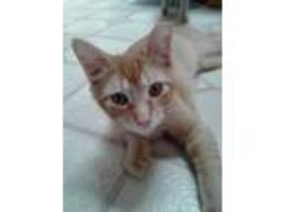 Adopt Leo (male kitten) a Domestic Short Hair