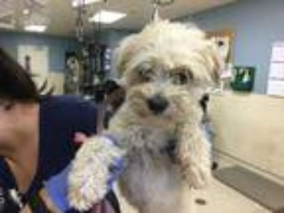 Adopt Dog a White Poodle (Miniature) / Mixed dog in Jurupa Valley, CA (25626373)