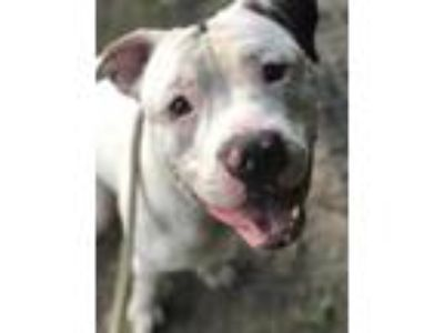 Adopt Dewey a White American Pit Bull Terrier / Mixed dog in Philadelphia