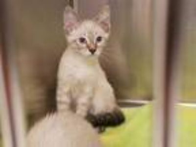 Adopt *SEAMUS a Brown or Chocolate (Mostly) Siamese / Mixed (short coat) cat in