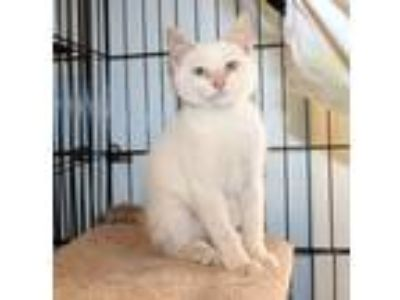 Adopt Waylon a Cream or Ivory (Mostly) Siamese (medium coat) cat in Lumberton