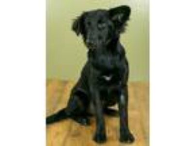 Adopt Dolce a Shepherd, Mixed Breed