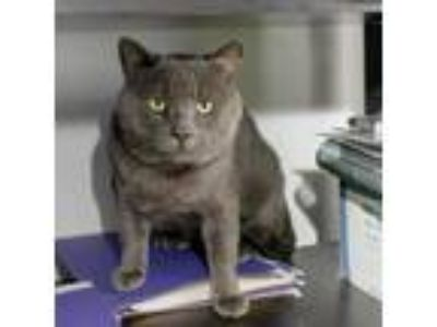 Adopt Dudley a Gray or Blue Domestic Shorthair cat in Los Angeles, CA (23822780)