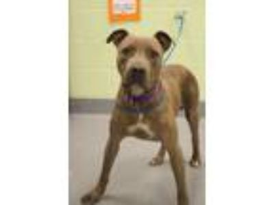 Adopt Ziva a Pit Bull Terrier, Mixed Breed
