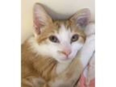 Adopt Raclette a Domestic Short Hair