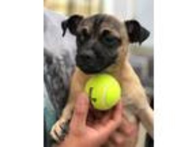Adopt Wally a Tan/Yellow/Fawn - with Black Pug / Mixed dog in New York
