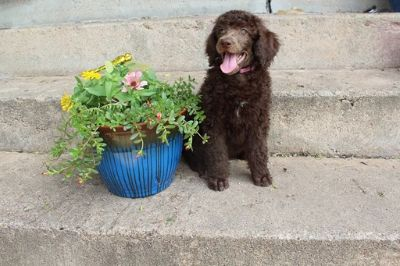 Poodle (Standard) PUPPY FOR SALE ADN-79323 - Arabella Female Brown Abstract Champion Bred