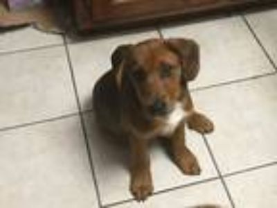 Adopt Red a Tan/Yellow/Fawn Labrador Retriever / Hound (Unknown Type) / Mixed