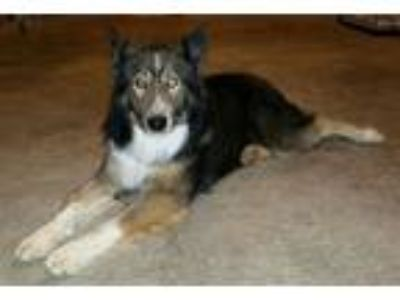 Adopt Max a Tricolor (Tan/Brown & Black & White) Siberian Husky / Border Collie