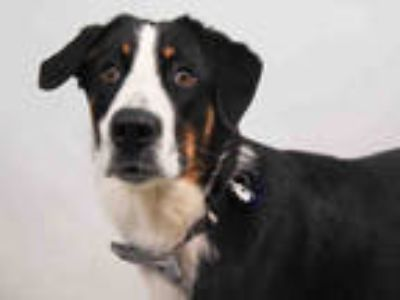 Adopt ED a Tricolor (Tan/Brown & Black & White) Border Collie / Mixed dog in
