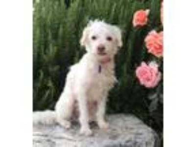 Adopt Roxanne a White Poodle (Miniature) / Mixed dog in Temecula, CA (25337079)