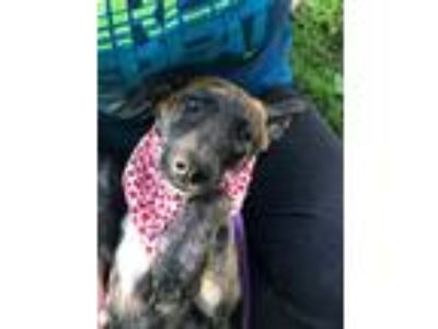 Adopt Willie a Dutch Shepherd, Labrador Retriever