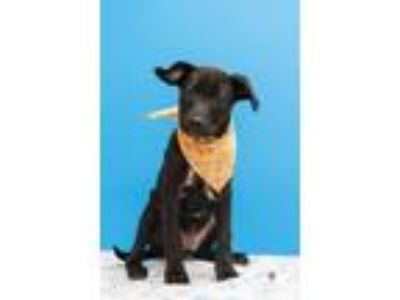 Adopt Hutch a Labrador Retriever / Terrier (Unknown Type