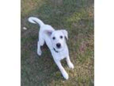 Adopt Rose a White Australian Shepherd / Husky / Mixed dog in West Chester