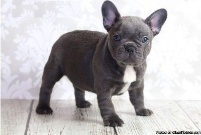Beautiful French Bulldog Puppies For Sale.
