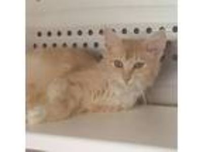 Adopt Liberty a Orange or Red Domestic Longhair cat in Chatham, VA (25648186)