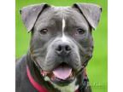 Adopt Zeppelin a Pit Bull Terrier, Mixed Breed