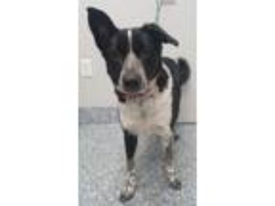 Adopt Molly a Collie / Mixed dog in Angola, IN (25203323)