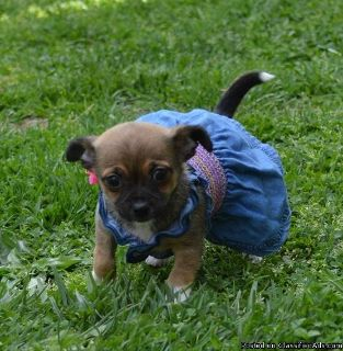 Chinese Chongqing Dog Puppies for Sale