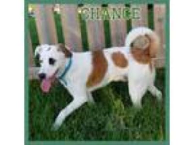 Adopt Chance a Shepherd, Labrador Retriever