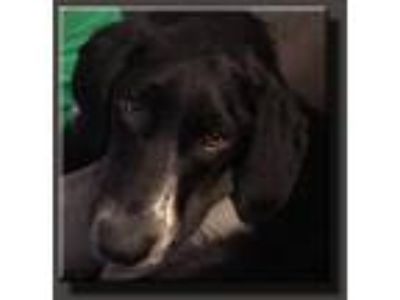 Adopt Dawn Looney Tunes a Black - with White Labrador Retriever / Mixed dog in