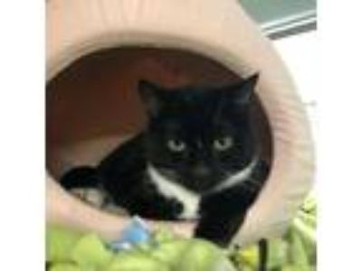 Adopt Miss Kitty a All Black Domestic Shorthair / Domestic Shorthair / Mixed cat