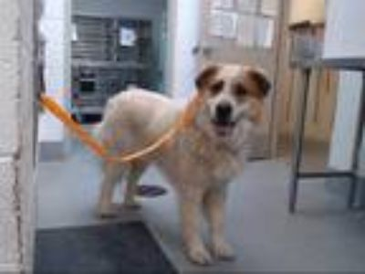 Adopt BACONATOR a White - with Brown or Chocolate St. Bernard / Great Pyrenees /