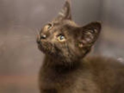 Adopt FUZZY a All Black Domestic Shorthair / Mixed (short coat) cat in